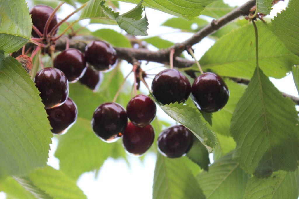Вятский иван-чай «Вишнёвый» (c ягодами и листьями вишни)